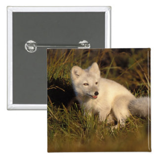arctic fox, Alopex lagopus, coat changing from 3 2 Inch Square Button