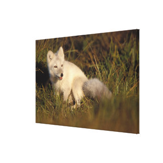arctic fox, Alopex lagopus, coat changing from 3 Gallery Wrapped Canvas