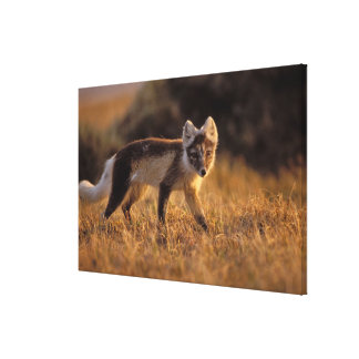 arctic fox, Alopex lagopus, coat changing from Stretched Canvas Print