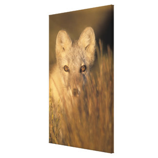 arctic fox, Alopex lagopus, on the 1002 coastal 2 Stretched Canvas Prints