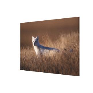 arctic fox, Alopex lagopus, on the 1002 coastal Stretched Canvas Print