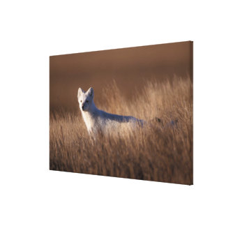 arctic fox, Alopex lagopus, on the 1002 coastal Gallery Wrapped Canvas
