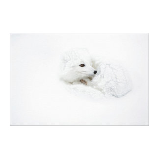 Arctic Fox curled up in winter Gallery Wrap Canvas