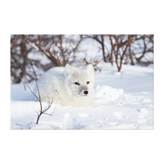 Arctic Fox in winter Gallery Wrapped Canvas