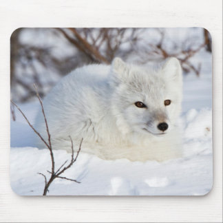 Arctic Fox in winter Mouse Pad