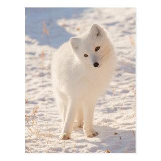 Arctic Fox Postcard