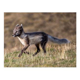 Arctic Fox Running Postcard