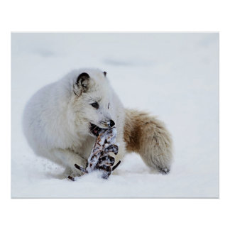Arctic Fox - Snacking Poster