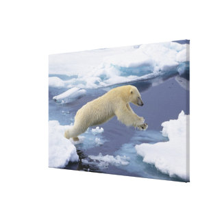 Arctic, Svalbard, Polar Bear extending and Stretched Canvas Prints