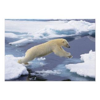 Arctic, Svalbard, Polar Bear extending and Photo Print