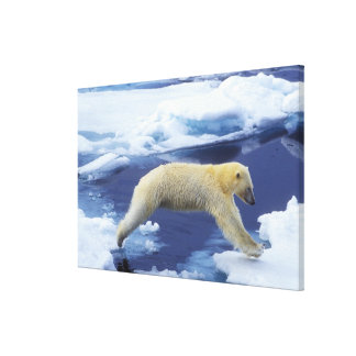 Arctic, Svalbard, Polar Bear hovering with all Gallery Wrapped Canvas