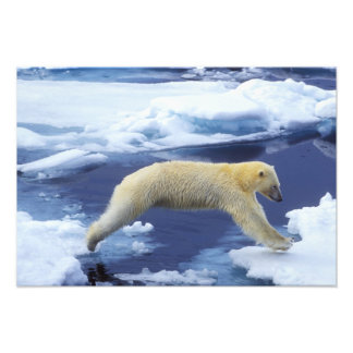 Arctic, Svalbard, Polar Bear hovering with all Photo Print