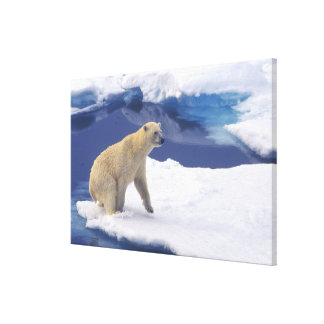 Arctic, Svalbard, Walrus being freindly Stretched Canvas Print