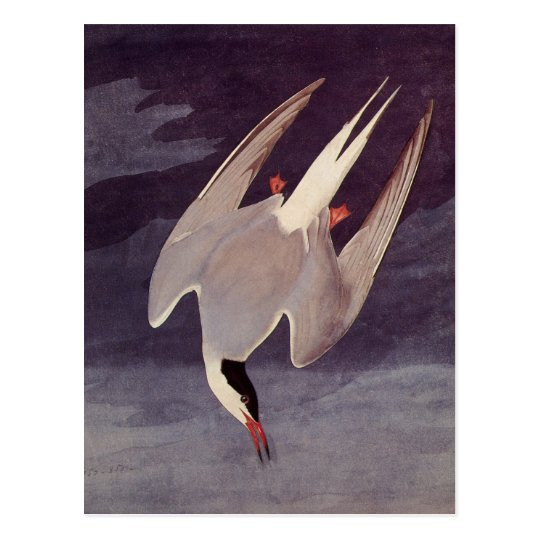 Arctic Tern by John James Audubon, Vintage Birds Postcard