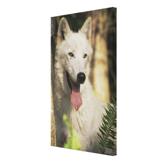 Arctic wolf in forest stretched canvas print
