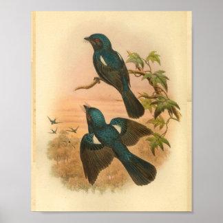 Arfak Drongo Blue Vintage Cat Bird Print