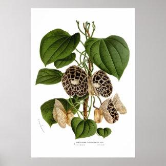 Aristolochia duchartrei poster