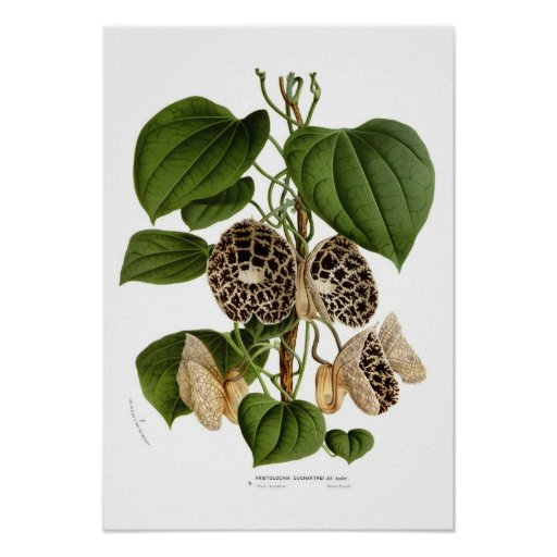 Aristolochia duchartrei print