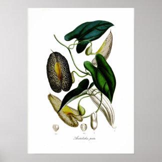 Aristolochia picta poster