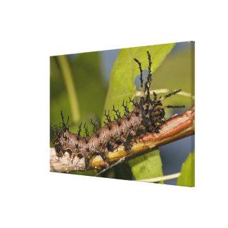 Arizona Horned Devil Caterpillar, Citheronia Canvas Print