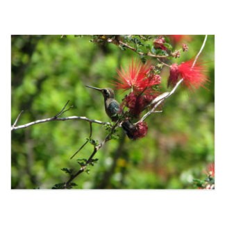 Arizona Hummingbird Postcard