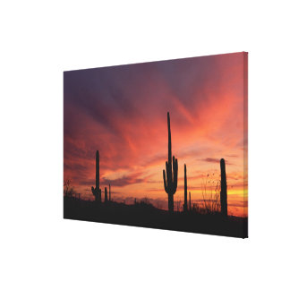 Arizona sunset over saguaro cacti canvas print