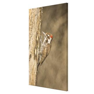 Arizona Woodpecker, Dendrocopos arizonae, South Canvas Print