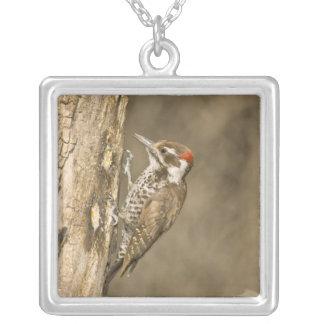 Arizona Woodpecker, Dendrocopos arizonae, South Silver Plated Necklace