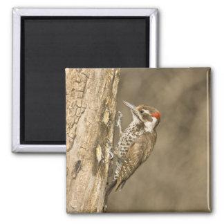 Arizona Woodpecker, Dendrocopos arizonae, South Square Magnet