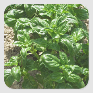 Array of basil plants square sticker