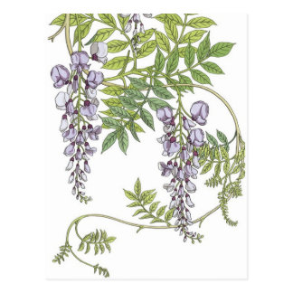 Art nouveau wisteria postcard