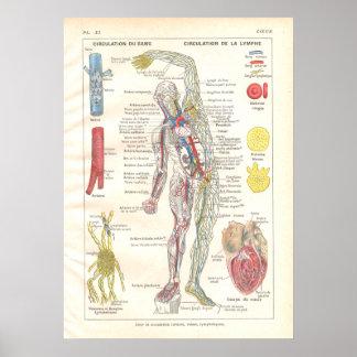 Arteries, Veins Lymphatics Anatomy Poster French