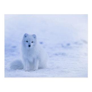 Artic Baby Fox Postcard