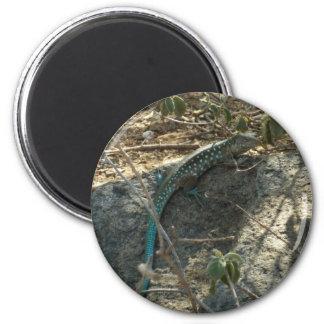 Aruban Whiptail Lizard Tropical Animal Photography Magnet