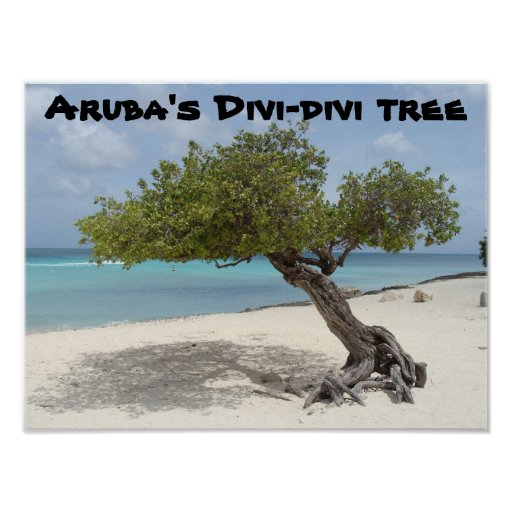 Aruba's Divi-divi tree poster