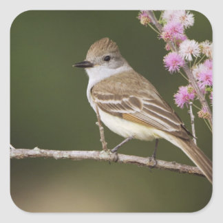 Ash-throated Flycatcher, Myiarchus Square Sticker
