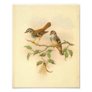 Ashy Fronted Flycatcher Orange Bird Vintage Print