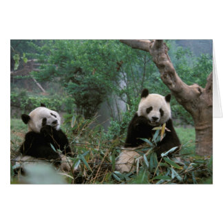 Asia, China, Chengdu. Giant Panda Sanctuary - 2 Card
