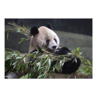 Asia, China Chongqing. Giant Panda at the Photo Art