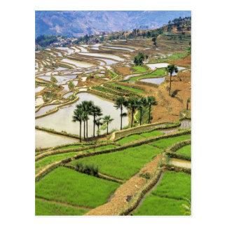 Asia, China, Yunnan, Honghe.  Rice terraces near Postcard
