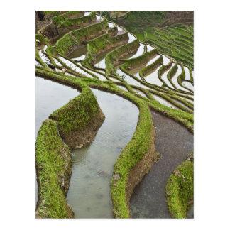 Asia, China, Yunnan, Yuanyang. Flooded rice Postcard
