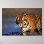 ASIA, India, Bengal Tiger Panthera tigris) Poster