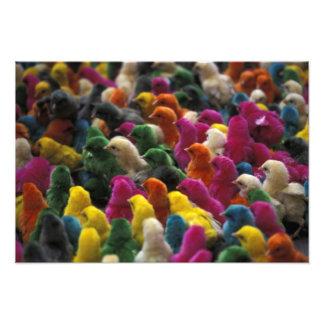 Asia, India, Karnataka, Mysore. Colored chicks Photo