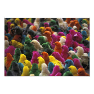 Asia, India, Karnataka, Mysore. Colored chicks Photograph