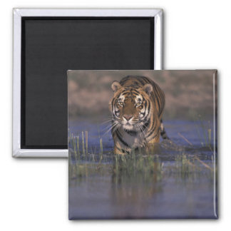 ASIA, India Tiger walking through the water Square Magnet