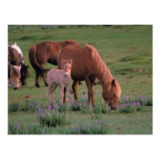 Asia, Mongolia, Gobi Desert. Wild Horses Postcard