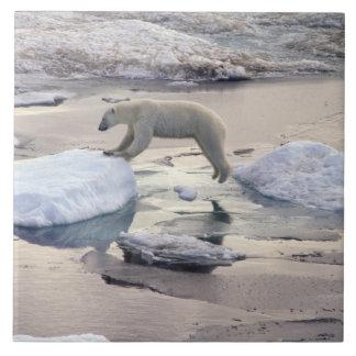 Asia, Russia, Siberian Arctic. Polar bear Tiles