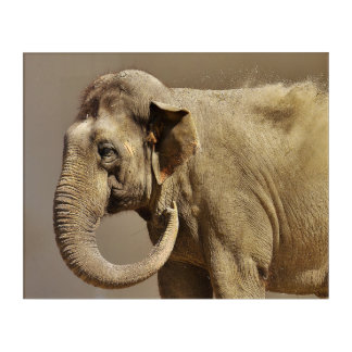 Asian elephant sand bath acrylic wall art