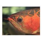 Asiatic arowana postcard