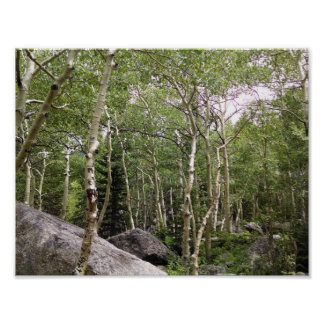 Aspen and conifer forest in RMNP. Poster